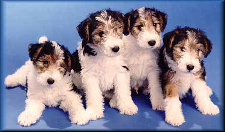 Terrier Puppies on Fox Terrier Puppies   Reviews And Photos