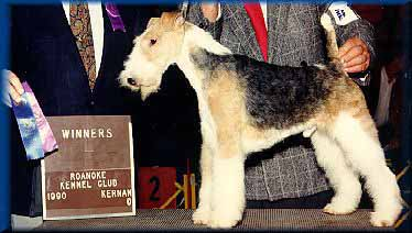Wire Fox Terrier   Puppies for Sale